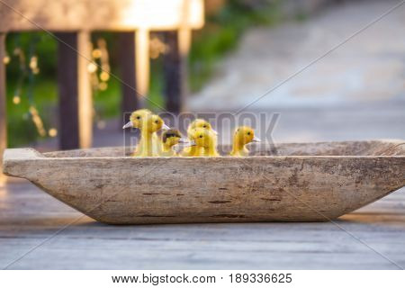 Small fluffy yellow ducklings climbed into the old wooden trough and are preparing for the trip