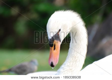 Breath taking whtie swan with his neck curved.