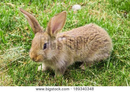 young rabbit with protruding ears on green grass