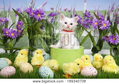 One fluffy white kitten standing in a green planter bowl up away from fuzzy yellow chicks and easter eggs in green grass white picket fence background with tall purple flowers blue sky behind.