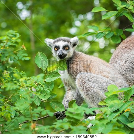 Portrait of an young lemur katta on a tree