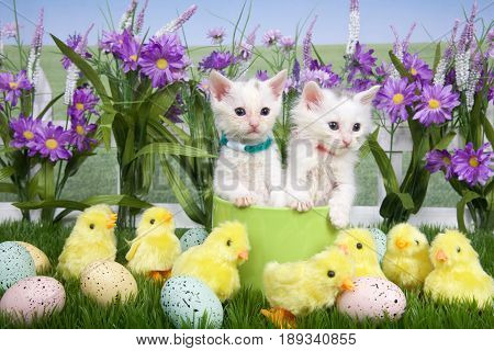 Two fluffy white kittens standing in a green planter bowl up away from fuzzy yellow chicks and easter eggs in green grass white picket fence background with tall purple flowers blue sky behind.