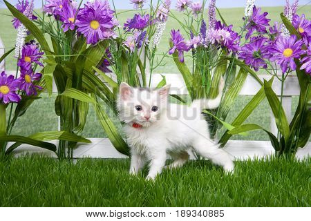 Portrait of one small fluffy white kitten wearing a red collar standing in green grass looking to viewers right white picket fence background with tall purple flowers.white kitten standing green grass picket fence nature outside purple flowers garden wear