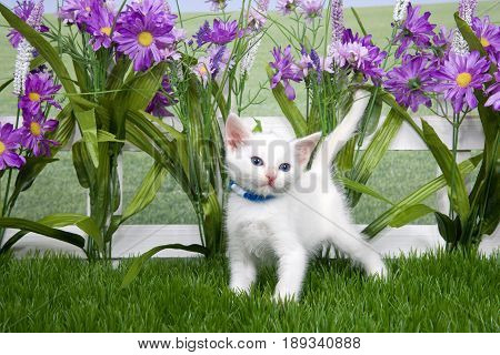 Portrait of one small fluffy white kitten wearing a blue collar standing in green grass looking to viewers right white picket fence background with tall purple flowers.