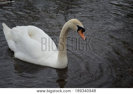 Gorgeous white swan with water dripping from it's beak.