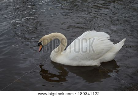 Swan dunking his head into the pond.
