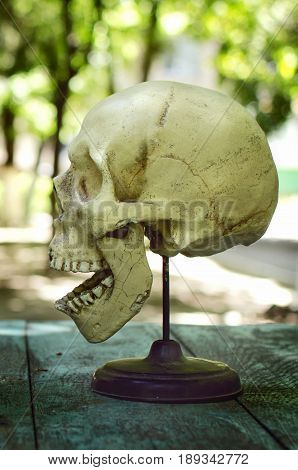 Model of human skull. Human skull. Skull with open mouth
