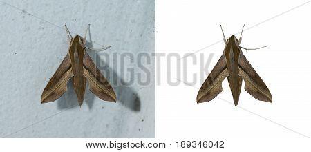 Hawk moth top view. Tropical moth closeup.