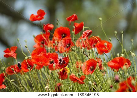 Red poppy flowers blooming under the sun