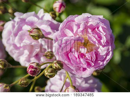 Rose flowers in the ornamental garden of Cervantes Park or Parque de Cervantes in Barcelona Spain.