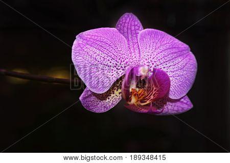 Phalaenopsis hybrid orchid against a dark background