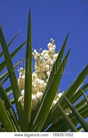 Yucca flower against the sky, sun day