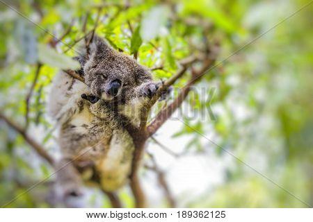 Sleeping koala on eucalyptus tree in Australia