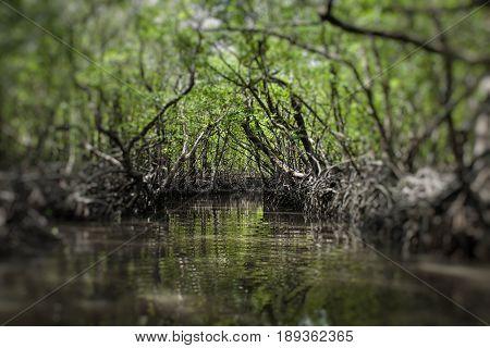 Mangrove tree at Havelock island Andaman and Nicobar India