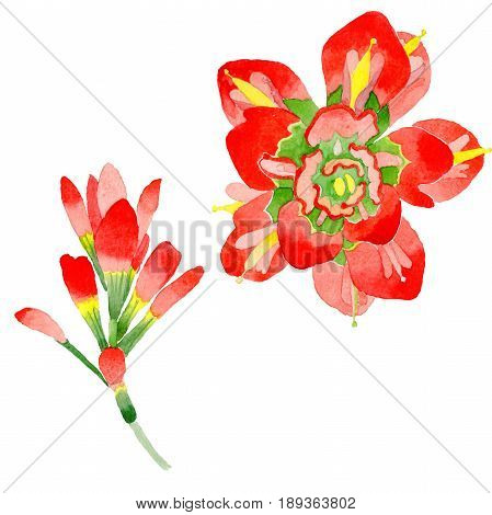 Wildflower Indian Paintbrush flower in a watercolor style isolated. Full name of the plant:  Indian Paintbrush. Aquarelle wild flower for background, texture, wrapper pattern, frame or border.