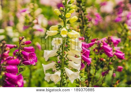 Campanula Glomerata, Known By The Common Names Clustered Bellflower Or Dane's Blood