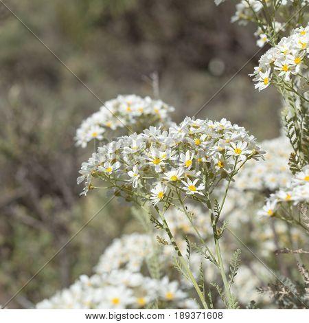 Flora Of Gran Canaria -  Tanacetum Ptarmiciflorum