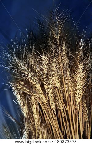 Wheat spike on a blue background ,