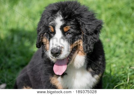 A young beautiful Bernese mountain dog standing on the lawn while sticking its tongue out and looking happy and playful. Bernese dog is a breed known for being intelligent alert and loyal companion dogs.
