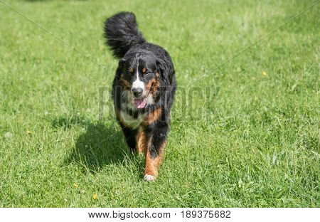 Bernese mountain dog portrait in running outdoors