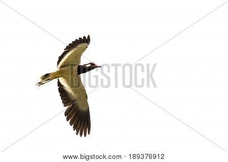 Image of bird flying on white background. Wild Animals. Red-wattled lapwing bird (Vanellus indicus)