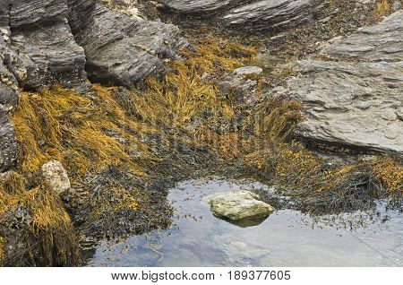 Sea weed is revealed during a low tide period along the shoreline in Newport Rhode Island