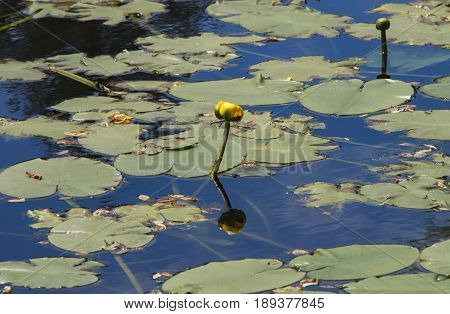 A water blooms in a pond in Mystic Ct