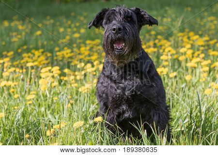 Obedient Giant Black Schnauzer Dog sitting at the blossoming dandelion meadow. Horizontally.