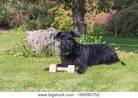 Obedient Giant Black Schnauzer Dog is lying at the garden with wooden toy.