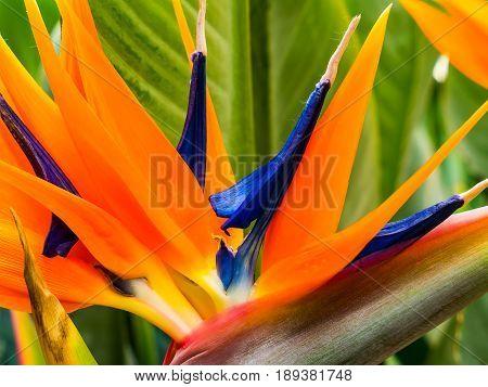 Colorful flower of strelitzia orange strelicia close-up
