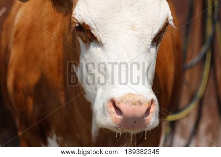Closeup shot of a Cow in Allgau. Germany