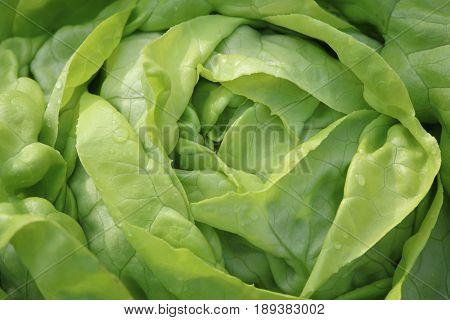 Fresh organic Butterhead Lettuce in Vegetable Garden