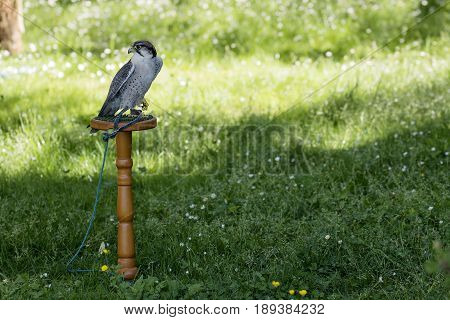 Single Lanner falcon perched on wooden trespole