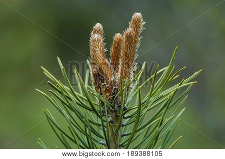 Pine or pinus tree branch with new tip in springtime, Plana mountain, Bulgaria