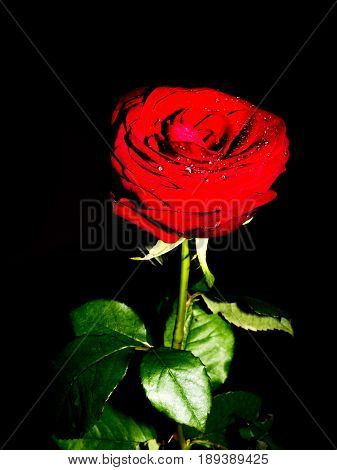 Wet red rose with drops of the water with black background detail
