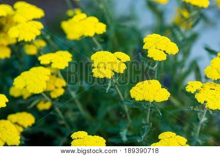 several clusters of tiny yellow flowers in larger clusters
