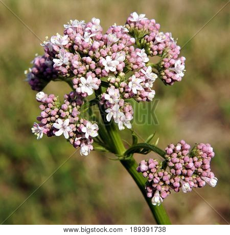 Valeriana Officinalis or Valerian plant is a genus of flowering plants in the family Caprifoliaceae