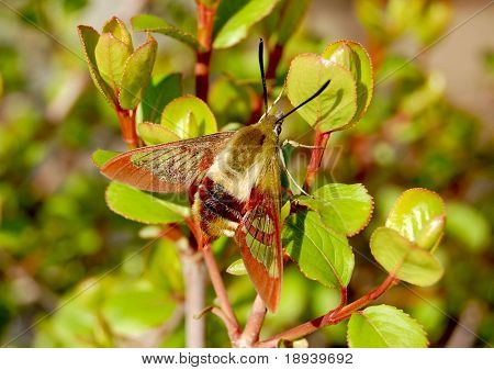 Hummingbird moth on a bush poster
