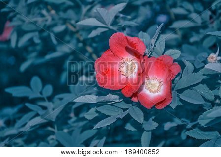 Wild rose buds colorful flowers on a background summer landscape