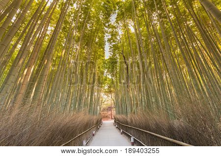 Natural bamboo forest with walking way in midle Kyoto Japan natural landscape background