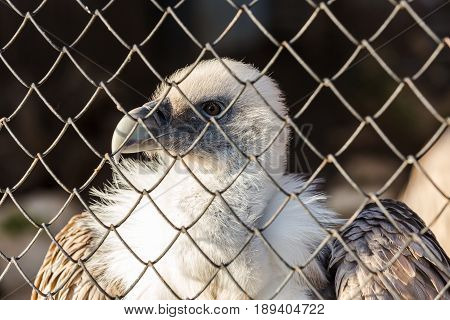 close up portrait of eagle behind bars looking at the viewer