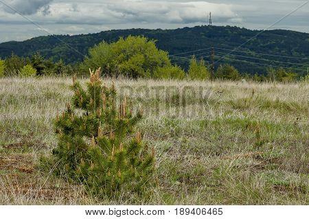 Pine or pinus tree  with new tip in springtime, Plana mountain, Bulgaria