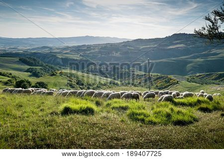 Volterra, Tuscany - May 21, 2017 - Flocks Of Sheep On The Hills Leading Of Volterra