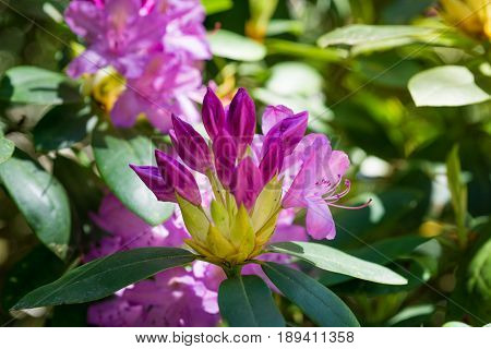 View on beautiful violet Flowers in the Morning Light. Blooming Flowers. Tropical Flowers. Garden Flowers. Close-up of colorful Flowers in Sunlight