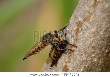 Large robber fly nailing its stinger on another robber fly
