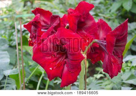 The close-up of fresh red flowering Amaryllis
