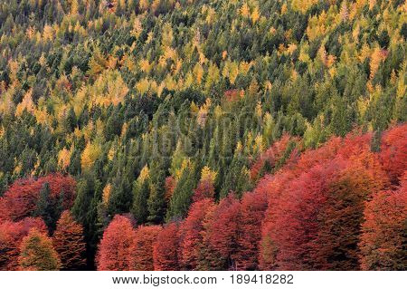 Indian Summer. Beautiful colored trees, forest, along Carretera Austral, Patagonia Chile