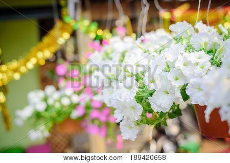 Beautiful white petunia in red plastic pot at petunias market in Thailand