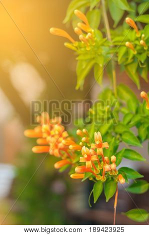 Pyrostegia venusta also commonly known as flamevine[2] or orange trumpet vine is a plant species of the genus Pyrostegia of the family Bignoniaceae originally endemic to Brazil but nowadays a well-known garden species