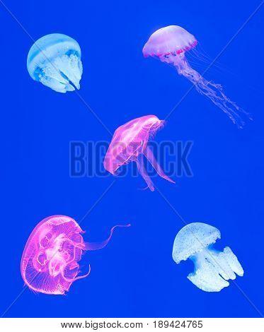 variety of jellyfish on blue background Beautiful jellyfish medusa in the neon light ocean wildlife Underwater life in ocean jellyfish.
